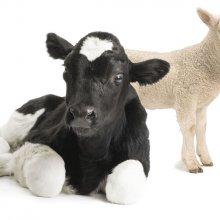 Lambing & Calving